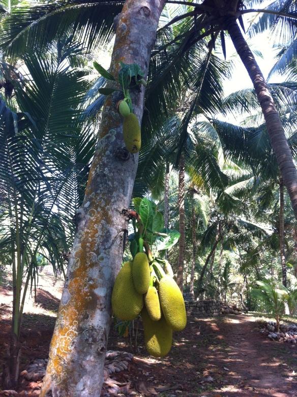 Jackfruit fiesta